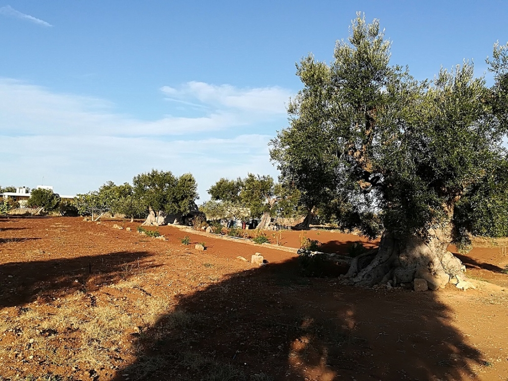 Italien-Apulien-Olivenbäume
