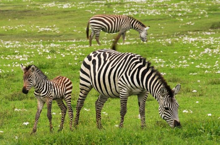 Tansania Serngeti Zebra