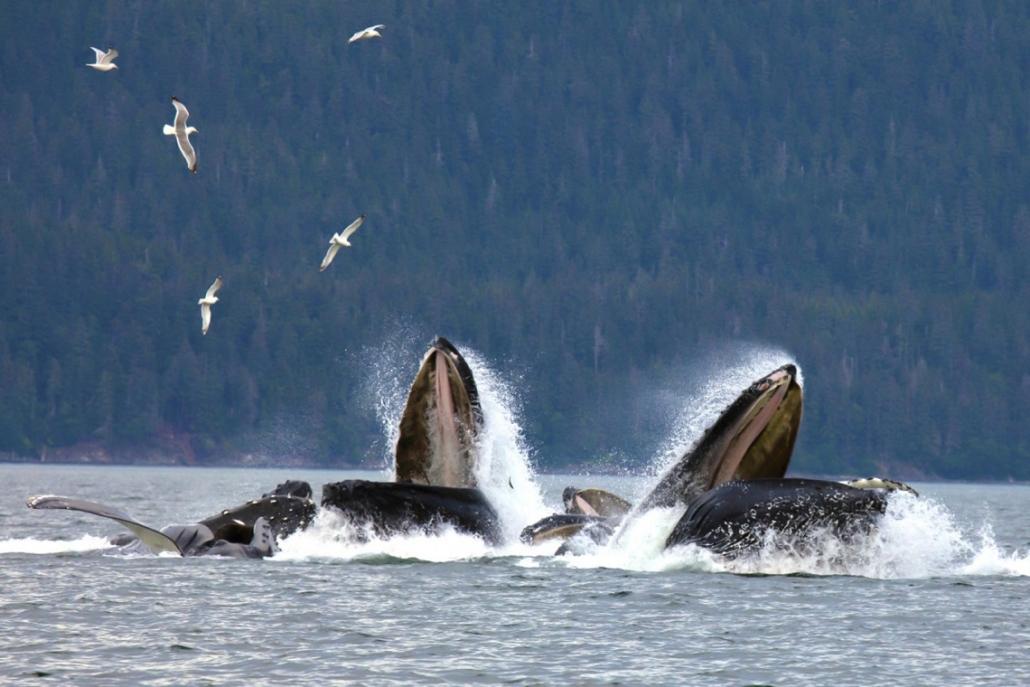 Ponant L'Austral Alaska Wale