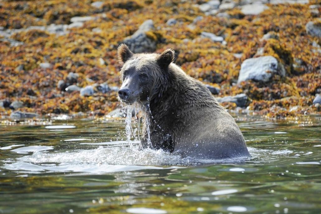 Ponant Le Austral Alaska Baeren