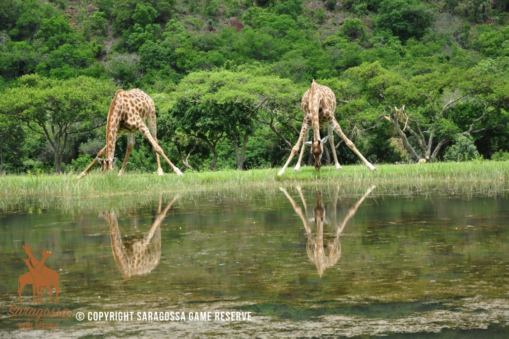 Twin Thorns Guest House Giraffen